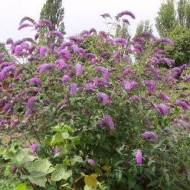 Liliac de vara-Buddleja Davidii lle France