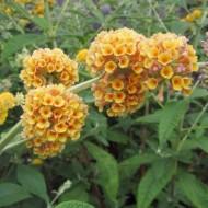 Liliac de vara-Buddleja Weyeriana Sungold