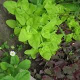 Loboda verde