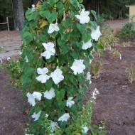 Moonflower-Ipomoea alba