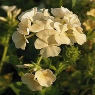 Phlox Drummondii Isabellina