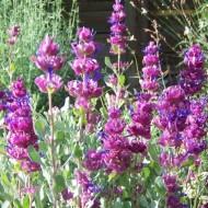 Salvia Pachyphylla