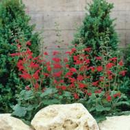 Salvia Roemeriana Arriba