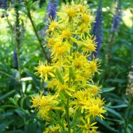 Splinuta-Solidago Virgaurea