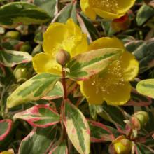 Sunatoare-Hypericum Moserianum Tricolour
