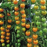Tomate cherry Sungold F1