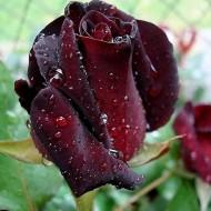 Trandafir Black Baccara