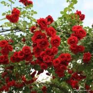 Trandafir Sympathie