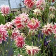 Caldarusa-Aquilengia vulgaris Nora Barlow