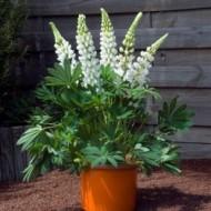 Lupin peren-Lupinus polyphyllus mix