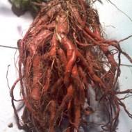 Salvia Miltiorrhiza-Red Sage
