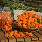 Ardei iute Habanero Orange