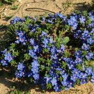 Blue Pimpernel-Anagallis Monelli