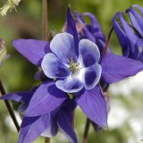 Caldarusa-Aquilegia vulgaris-European columbine