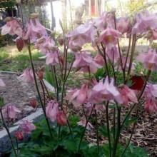 Caldarusa-Aquilegia Vulgaris Pink