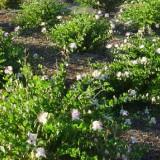 Capere-Capparis spinosa