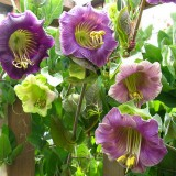 Cobaea scandens-Cobea violet