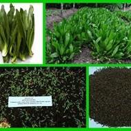 Coriandru Mexican-Eryngium Foetidum