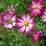 Cosmos bipinnatus Red White