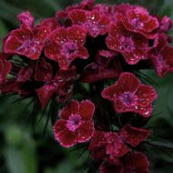 Dianthus barbatus-Garoafa turceasca Black Magic