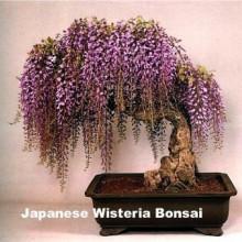 Glicina mov-Wisteria floribunda