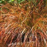 Iarba decorativa Carex comans Prairie Fire