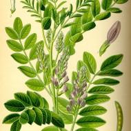 Lemn Dulce-Glycyrrhiza Glabra