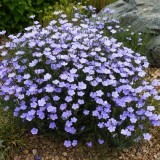 Linum-In decorativ blue