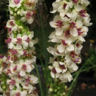 Lumanarica-Verbascum chaixii Wedding Candles