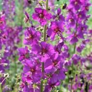 Lumanarica-Verbascum Phoeniceum Purple