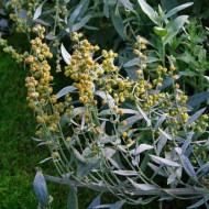 Pelin de argint-Artemisia Ludoviciana