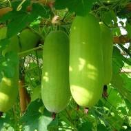 Pepene galben de iarna Wax Gourd