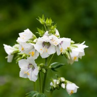 Polemonium Caeruleum-Jacob's Ladder White