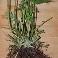 Rostopasca-Chelidonium Majus