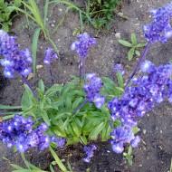 Salvia Farinacea Victoria Blue