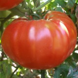 Tomate BG Fantasy