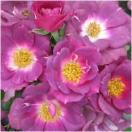 Trandafir Bluesy