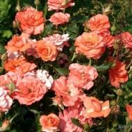 Trandafir Bordure Apricot