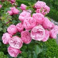 Trandafir Leonardo da Vinci