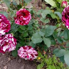 Trandafir Papageno