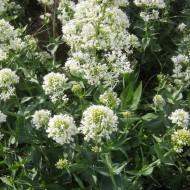 Valeriana alba-Centranthus ruber