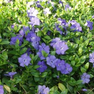 Vinca Minor-Saschiul