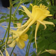 Caldarusa-Aquilegia Chrysantha Yellow Queen
