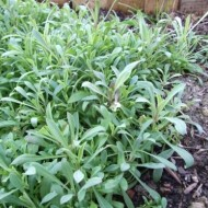 Stridolo-Silene vulgaris