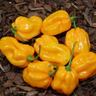 Ardei iute Scotch Bonnet Trinidad Yellow
