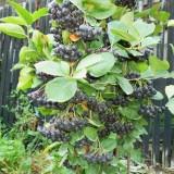 Aronia melanocarpa nero de 2 ani