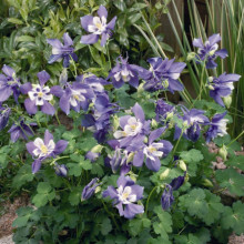 Caldarusa-Aquilegia Spring Magic Blue and White