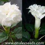 Datura metel Double White