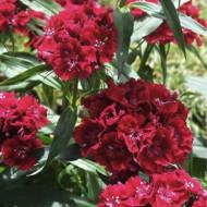 Dianthus barbatus-Garoafa turceasca Black Magic