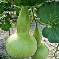 Dovleac decorativ Bottle Gourd